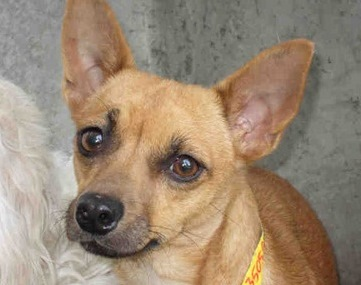 Sienna is one of nearly 100 Chihuahuas and hundreds more animals available for adoption at Los Angeles Animal Services Photo: South Los Angeles Animal Care and Control Center