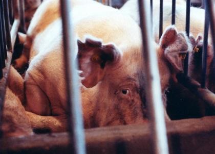 Farmed Animals