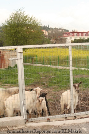 Astio and his family safe behind the gates of their lush, pretty pasture