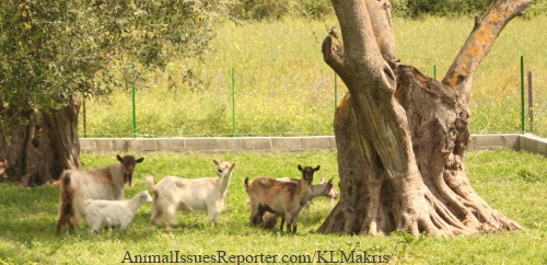 The father goat led his family to the back of the pasture, as far away as they could get