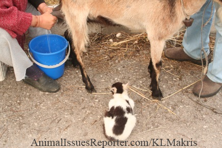 Mother goat stands quietly to be milked