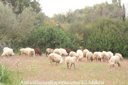 Sheep graze in a flowery field nearby