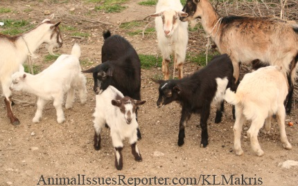 Baby goat Astio, front and center, surrounded by his family in their tranquil Greek village pasture, a few days before Easter