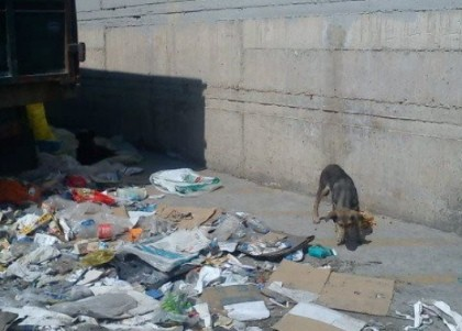 Abandoned, desperate dog forages for something to eat amidst trash Photo: The Ghosts of Aspropyrgos rescue group